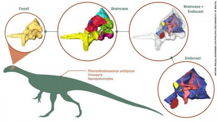 thecodontosaurus 2 resize md بازسازی مغز یکی از قدیمیترین دایناسورهای دنیا به صورت دیجیتالی اخبار IT