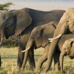 محققان علت مقاومت خارقالعاده فیلها در برابر ابتلا به سرطان را کشف کردند