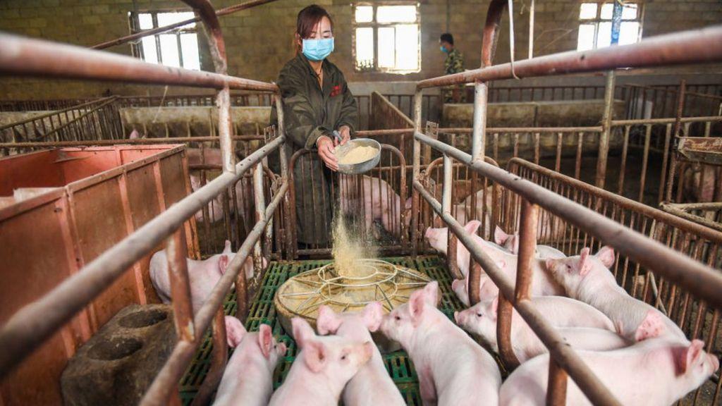 هواوی پرورش خوک