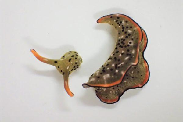 این حلزون دریایی با قطع سر، یک بدن جدید میسازد [تماشا کنید]