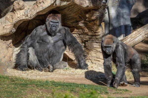 گوریلهای باغ وحش سن دیگو واکسن کرونا دریافت کردند