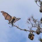 محققان دلیل احتمالی فقدان مکانیزم پژواک یابی در خفاش میوه را پیدا کردند