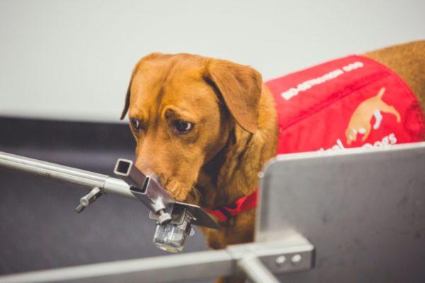 توسعه یک «بینی رباتیک» که با تقلید از سگها، سرطان را بو میکشد