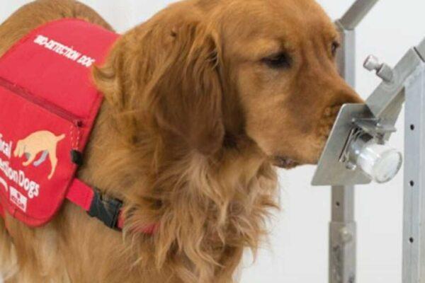 سگها با دقت ۹۶ درصد ابتلا به ویروس کرونا را تشخیص میدهند