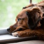 سگها بسته به رفتار صاحبشان با سگهای دیگر میتوانند حسادت را تجربه کنند