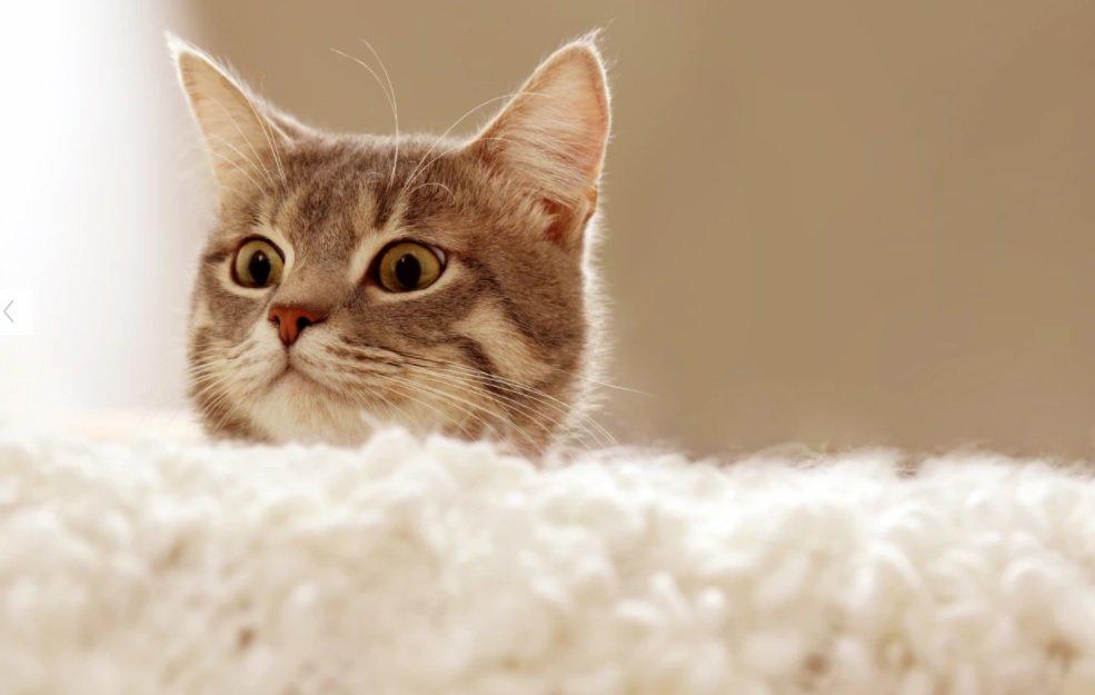 پژوهشی جدید انتقال ویروس کرونا از انسان به گربه را تایید میکند
