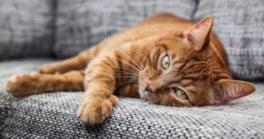 ویروس کرونا گربه