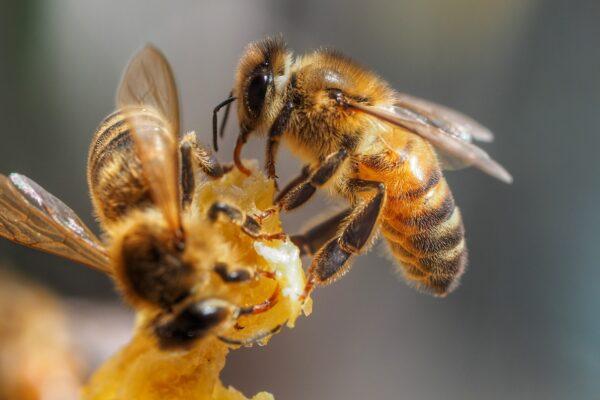 زنبورهای عسل آموزش دیده نیز وارد میدان میشوند؛ تشخیص سریع کرونا در عرض چند ثانیه