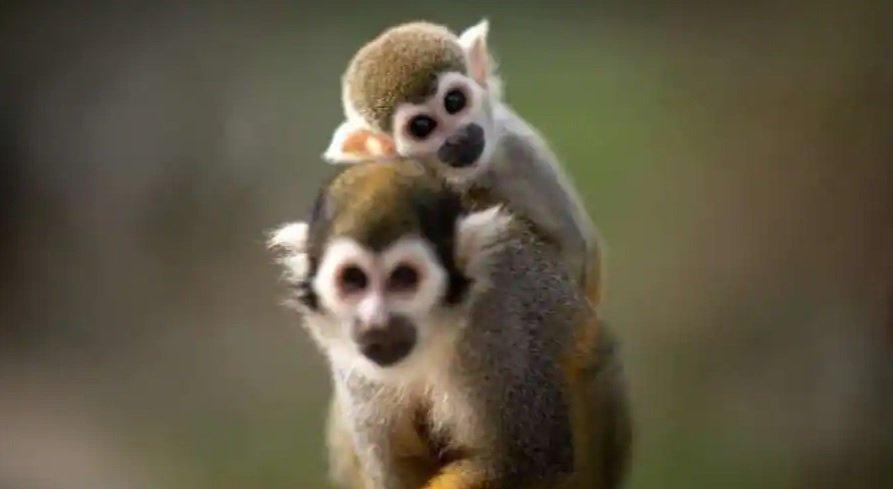 اولین مرگ در اثر ابتلا به ویروس جدید میمون در چین ثبت شد