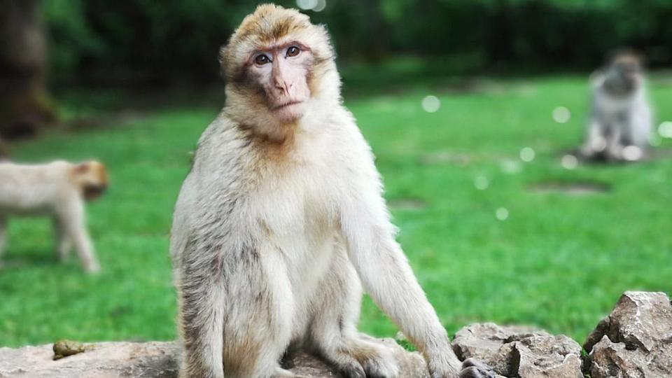 ویروس آبله میمون
