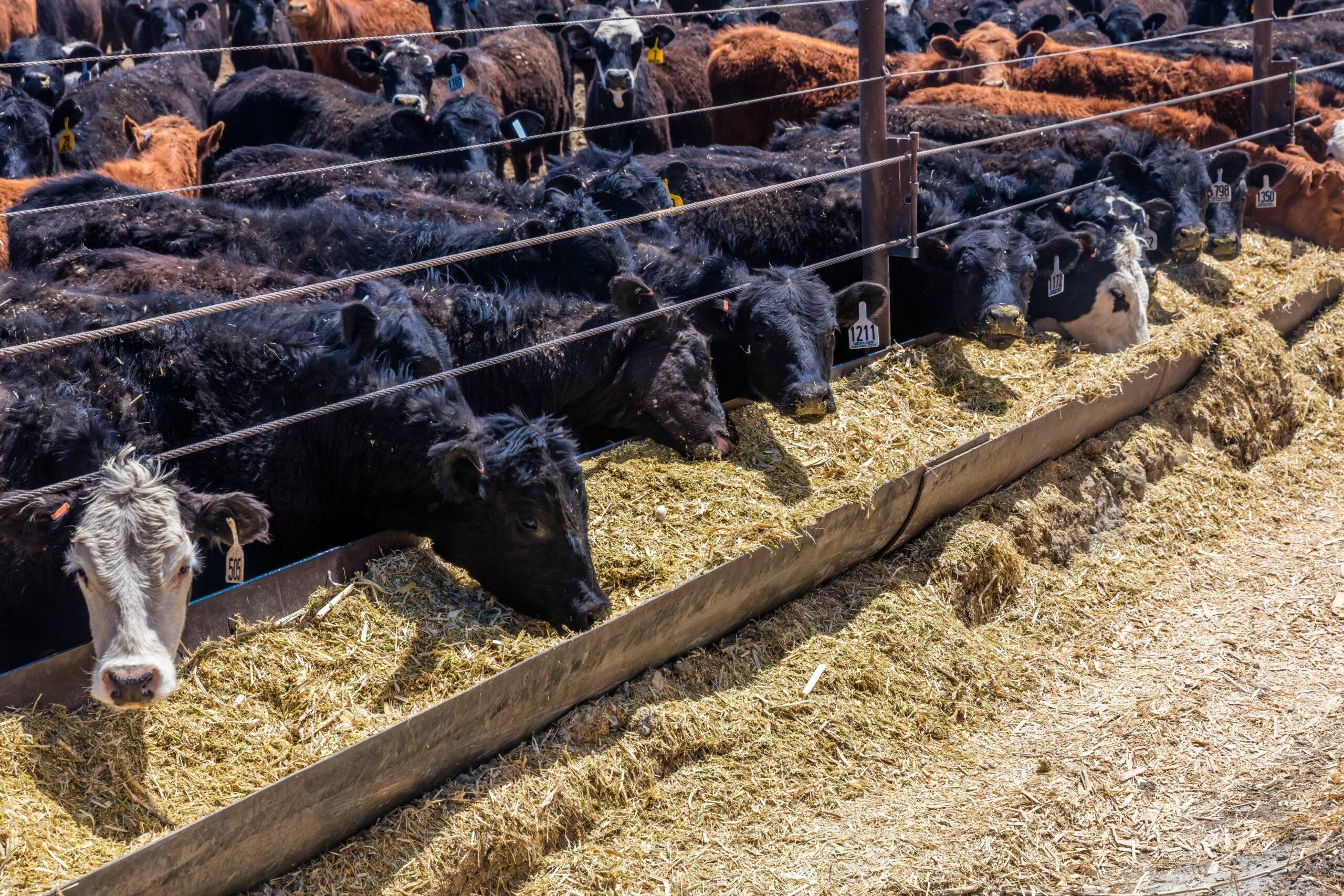 آلودگی هوای ناشی از تولید محصولات دامی باعث مرگ هزاران نفر میشود: آیا باید گیاهخوار شویم؟
