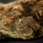 کشف جسد سالم یک بچه شیر غارنشین با قدمت ۲۸ هزار سال در سیبری