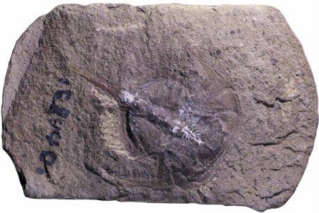 کشف فسیل نادر ۳۱۰ میلیون ساله: مغز خرچنگ نعل اسبی بدون هیچ نقصی حفظ شده است