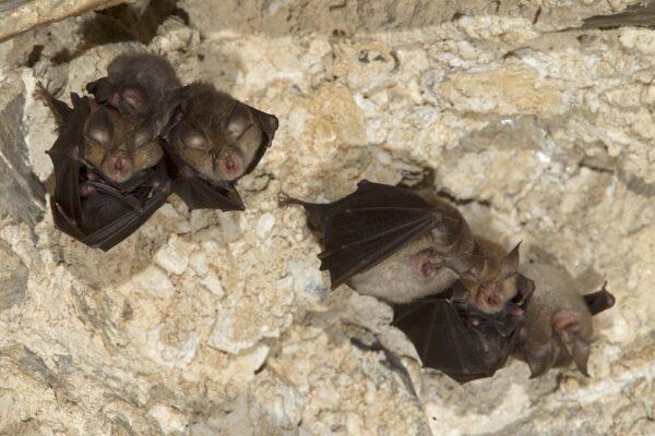 شبیهترین ویروس به SARS-CoV-2 در خفاشها کشف شد
