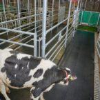 محققان با موفقیت استفاده از توالت را به گاوها آموزش دادند